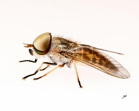 Horse Fly Tabanide sp. - male