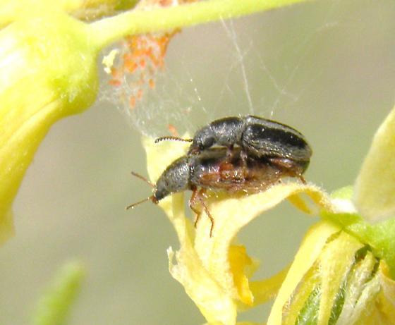 Dasytinae - Trichochrous varius