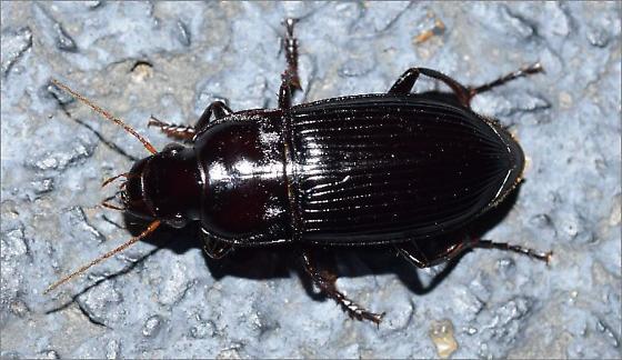 Woodland Ground Beetle - Harpalus