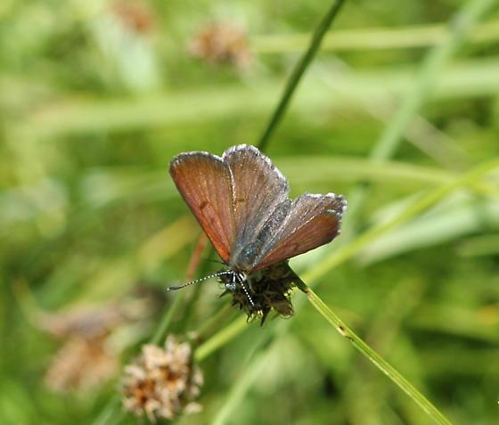 Mariposa male? - Lycaena mariposa - male