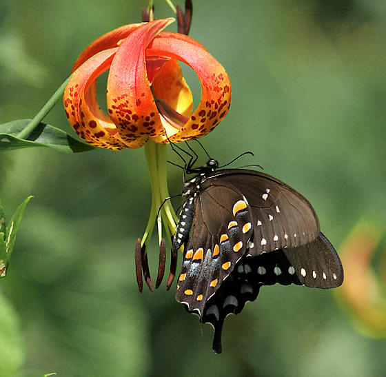 Spicebush or Black Swallowtail? - Papilio troilus