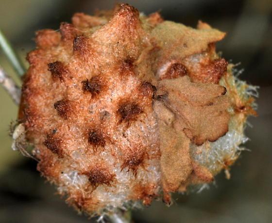 Oak Gall - Callirhytis seminator