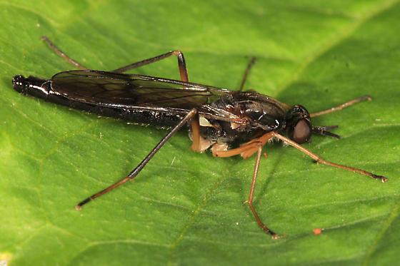 Xylophagid - Xylophagus cinctus