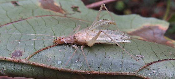 Tree Cricket? - Oecanthus - male