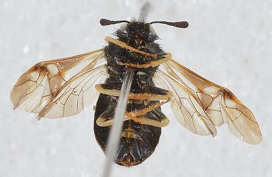 Cimbicidae - Abia americana