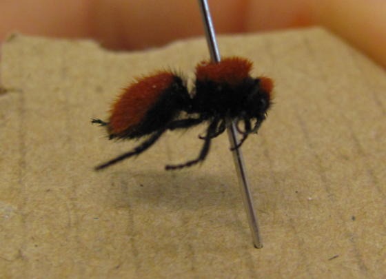 fuzzy black and red insect - Dasymutilla vestita