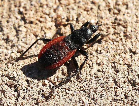 Black Corsair assassin bug_ Melanolestes picipes - Melanolestes picipes
