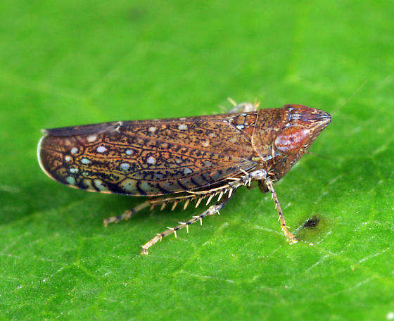 leafhopper - Scaphytopius nigrifrons