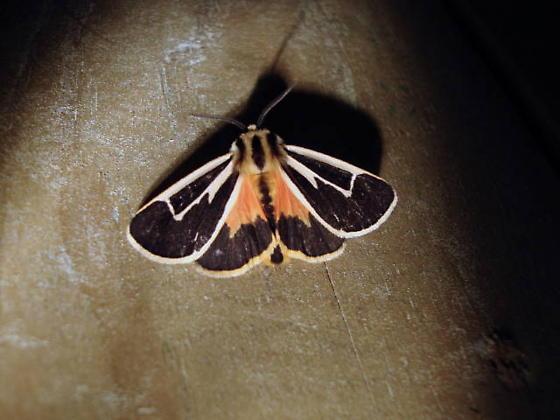 Banded Tiger Moth - Hodges#8170 (Apantesis vittata) - Apantesis vittata