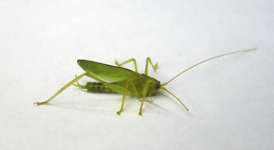 unknown katydid - Meconema thalassinum - male
