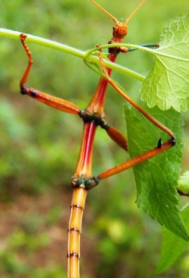 Giant walkingstick - Megaphasma denticrus