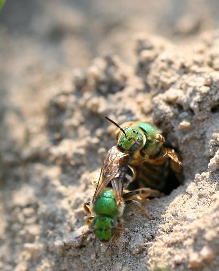 Agapostemon virescens - aggression (?) leaving the nest - a series - Agapostemon virescens - female