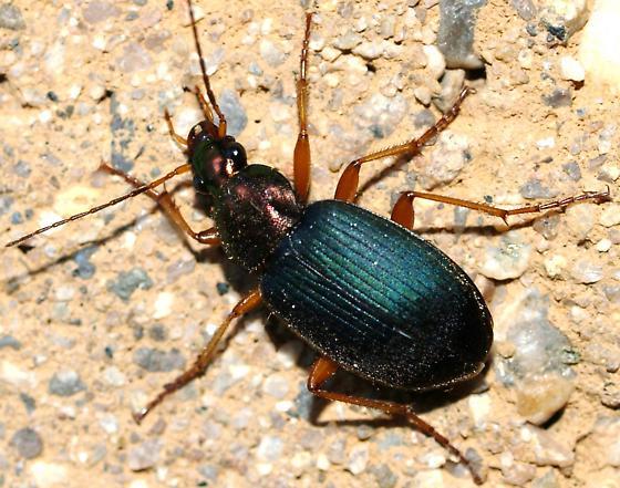 small Chlaenius - Chlaenius tricolor - female