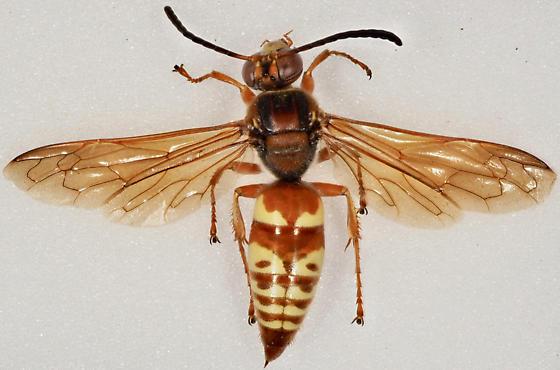 Western Cicada Killer - Sphecius grandis - Sphecius grandis