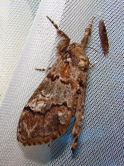 Big Moth - Dasychira cinnamomea