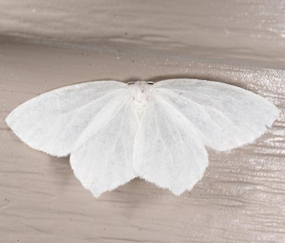 Eugonobapta - Eugonobapta nivosaria
