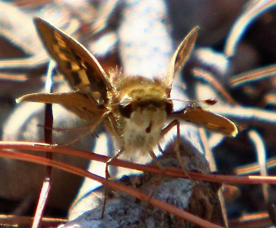 Whirlabout - Polites vibex or Fiery Skipper - Hylephila phyleus ? - Hylephila phyleus