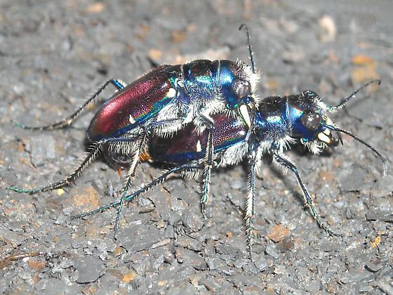 Cicindela pulchra pulchra - Cicindela pulchra - male - female