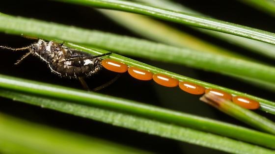 White Pine Aphid Laying Eggs - Cinara strobi - female
