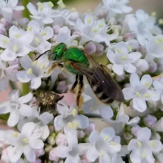 Solitary Bee? - Agapostemon virescens