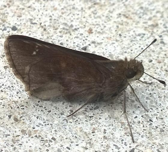 Unknown dark skipper  - Lerema accius