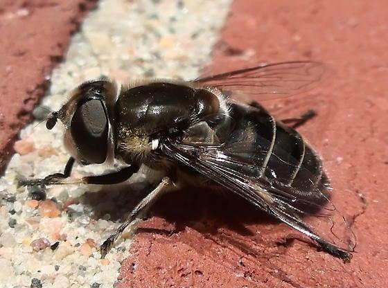 Syrphidae: Eristalis dimidiatus? - Eristalis dimidiata - female