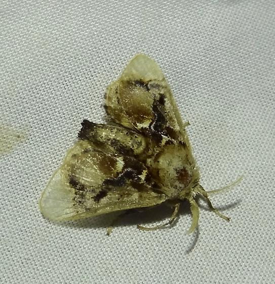 moth - Paleophobetron perornata