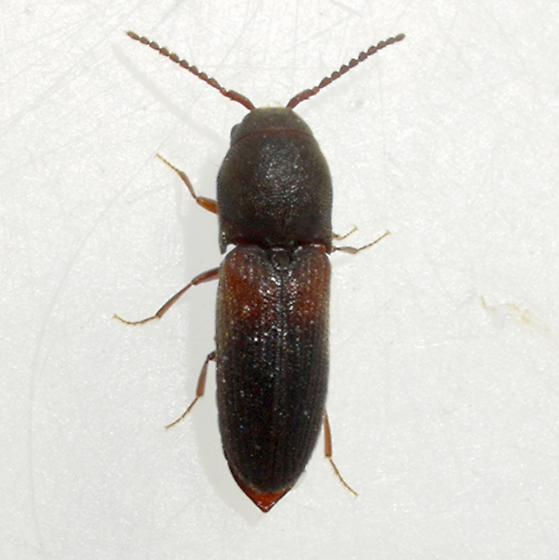 beetle - Rhagomicrus humeralis