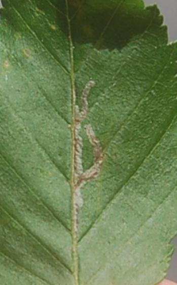 Lake Crabtree leaf miner on Carpinus caroliniana D956 2018 1 - Caloptilia ostryaeella