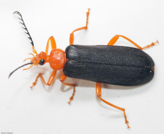 Bright Orange - Neopyrochroa flabellata