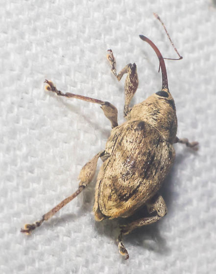 Thin-snouted weevil - Curculio