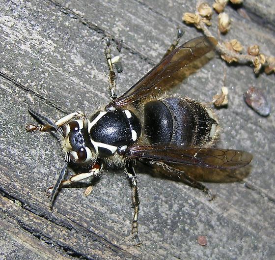 Baldfaced Hornet - Queen - Dolichovespula maculata - female