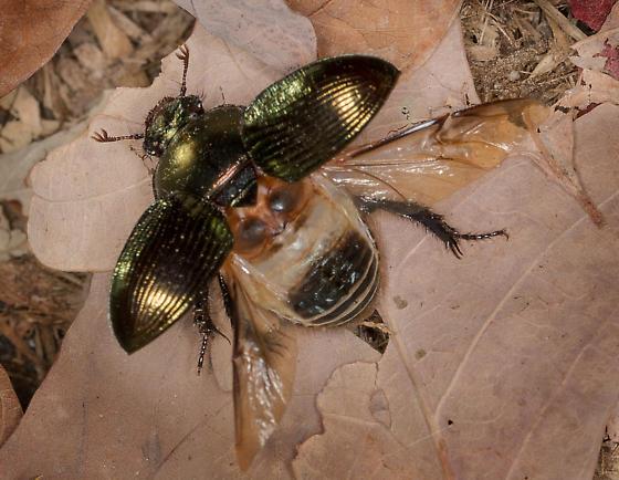 Dung Beetle - Geotrupes splendidus - female