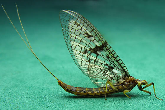 Common Burrower Mayfly - Ephemera simulans