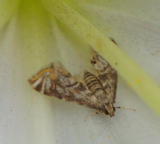 Petrophila sanatafealis - Petrophila santafealis