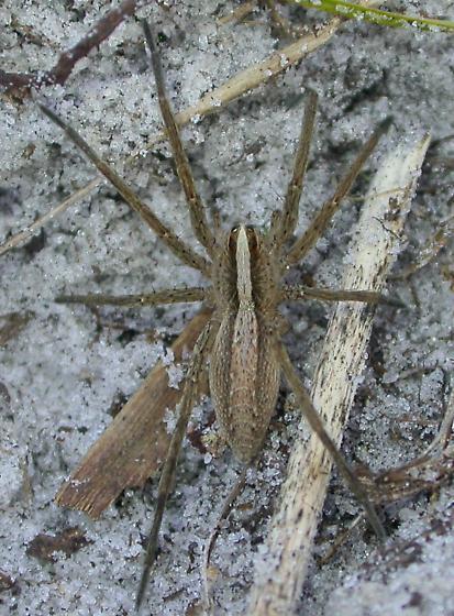 Rabidosa hentzi - female