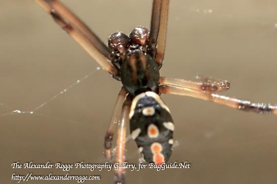 Black Widow Spider - Latrodectus mactans - Latrodectus mactans - male