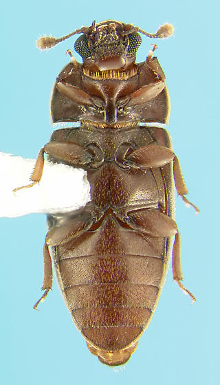 Biphyllid - Anchorius lineatus