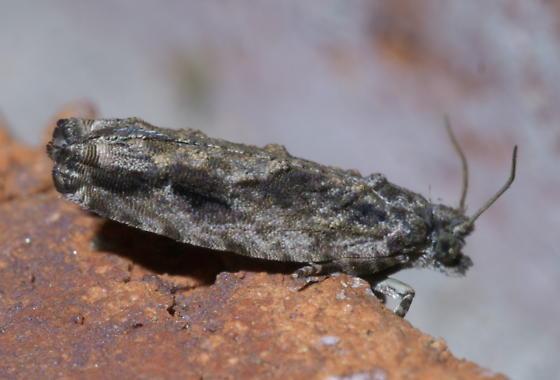 Mottled gray moth - Gretchena bolliana