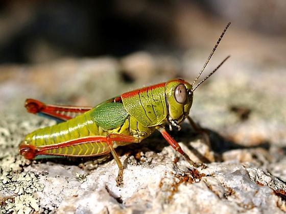Those colors! - Aztecacris gloriosus - female