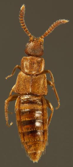 Microdonia nitidiventris