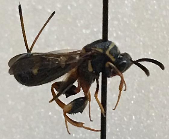 Wasp ID - Leucospis affinis - female