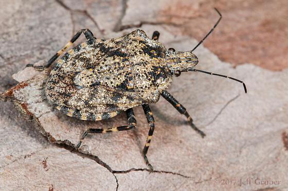 Pentatomid - Brochymena chelonoides