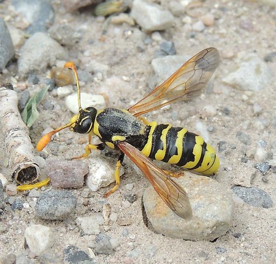 unkn bee - Pseudomasaris vespoides - male