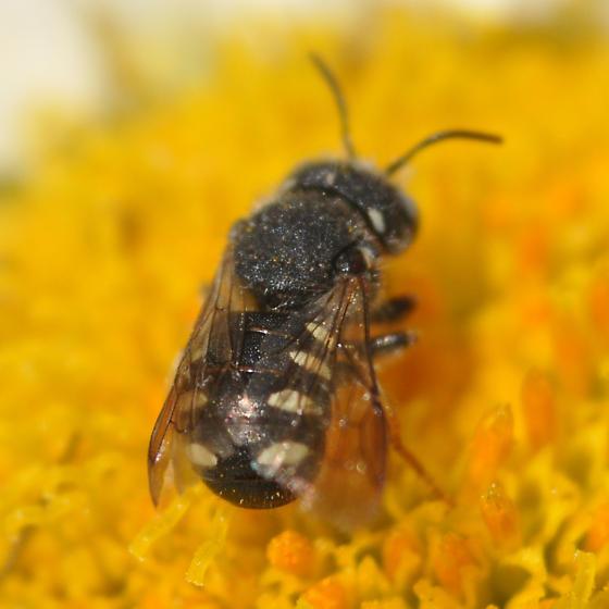 Teeny tiny Anthidiini - Pseudoanthidium nanum - female