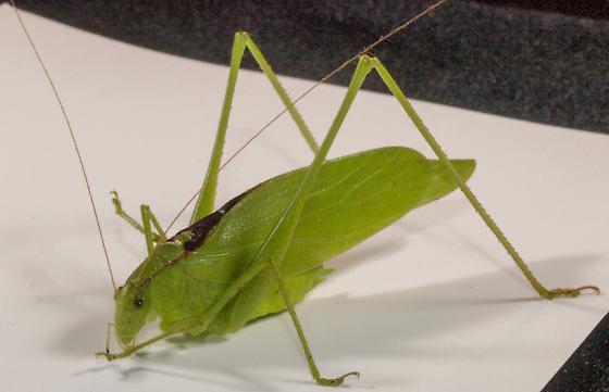 Katydid - Amblycorypha - male
