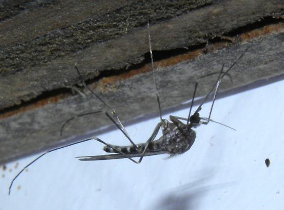 Very large mosquito - Culiseta incidens