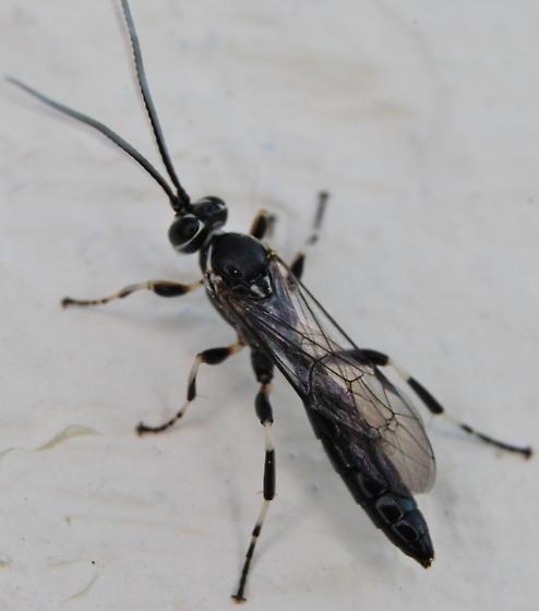 Wasp - Coelichneumon navus - male