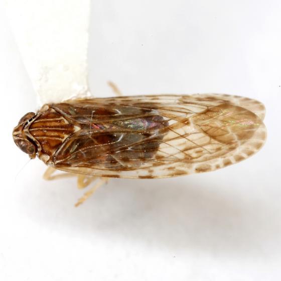 Momar maculifrons (Van Duzee) - Momar maculifrons - female