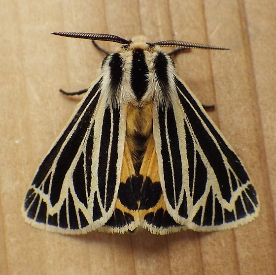 Erebidae: Grammia virguncula - Grammia virguncula